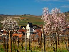 Mittelwihr (Haut-Rhin, F) (pietro68bleu) Tags: alsace village amandiersenfleurs vignoble mandelberg cigogne clocher église