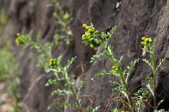 Senecio vulgaris  ノボロギク (ashitaka-f studio k2) Tags: flower yellow japan senecio vulgaris ノボロギク キク科 キオン属 asteraceae