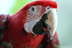 Jax (forestforthetress) Tags: bird fowl feathers beak eyes animaleyes red omot nikon color outdoor unlimitedphotos