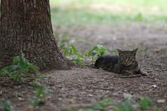 Brown Tabby Cat (Flexible Negativity) Tags: 猫 cat 貓 meow ねこ caturday nuko pentax k70 browntabby