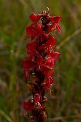 Satyrium monadenum (zimbart) Tags: angiosperms asparagales flora malawi nyikaplateau orchidaceae satyrium monocots red africa satyriummonadenum