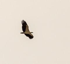 White Bellied Sea Eagle (PDKImages) Tags: sri lanka wildlife nature outdoors animals srilanka eagle bird flight whitebelliedseaeagle raptor birdofprey
