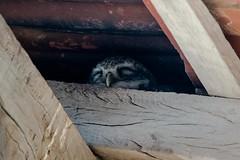 Spotted Owlet (iamfisheye) Tags: 300mm naturetrek d500 xqd february spottedowlet vr wildasswildlifesanctuaryofindia f4 india nikon afs littlerannofkutch pf 2019 tc14iii raremammalsandbirdsofgujarat gujarat
