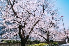 IMG_6791-1 (Zong pu haung) Tags: 櫻花 藍天 sakura tokyo 東京 自由行