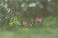 (cнαт-ɴoιr^^) Tags: 85mm vintagelens frühling spring printemps primavera nature flora blüte flower fiori fleur květina virágцветок kwiat cvijet blomst bloem lente bokeh 1330014