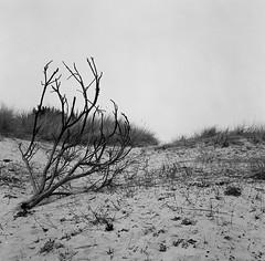 Drifter, Nairn, May 2016 (Mano Green) Tags: driftwood beach square sand wood tree sky grey black white rollei rolleicord ilford hp5 400 medium format film 120 nairn scotland uk