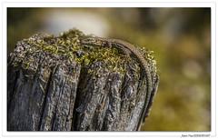 Reptiles en Alsace : lézard perché ! (C. OTTIE et J-Y KERMORVANT) Tags: nature animaux reptiles lézards lézarddesmurailles alsace france