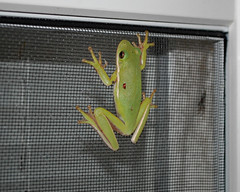 Frog. (dccradio) Tags: lumberton nc northcarolina robesoncounty outdoor outdoors outside wildlife animal frog toad nature natural window april spring springtime wednesday wednesdaynight night evening treefrog nikon d40 dslr screen