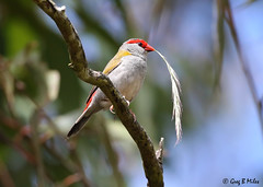 Red-browed Finch (Neochmia temporalis) (Greg Miles) Tags: neochmiatemporalis redbrowedfinch calga newsouthwales australia