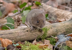 DSC4121  Banksy... (Jeff Lack Wildlife&Nature) Tags: bankvole vole voles rodent rodents animal animals moss leaves vegatation countryside copse woodlands forest hedgerows wildlife wildlifephotography jefflackphotography nature