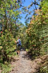 Walking along Bottlebrush trees in Springbrook National Park (Tatters ✾) Tags: australia brisbane springbrook nationalpark path