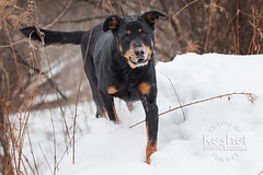 Picture of the Day (Keshet Kennels & Rescue) Tags: adoption dog ottawa ontario canada keshet large breed dogs animal animals pet pets field nature photography rottweiler mix snow winter fun woods