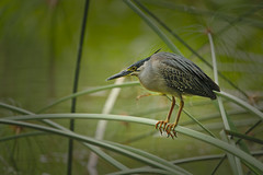 Striated Heron (Yani Dubin) Tags: striatedheron nature fishing butorides sigma animal gimp singapore striatus black orange d850 bokeh perching singaporebotanicgardens hunting 150600mmf563dgoshsm|c green asia colorful bird darktable colour littleheron heron color