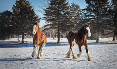 Clydesdale Horses (hey its k) Tags: 2019 clydesdalehorses hcc horses countyofbrant ontario canada ca img9694e canon5dmarkiv 70200mm