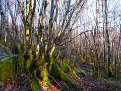 Hazel (Corylus avellana), Glasdrum National Nature Reserve (Niall Corbet) Tags: scotland argyll nnr nationalnaturereserve glasdrum hazel corylusavellana