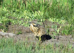 Onk-a-Chonk!!! (Patricia Henschen) Tags: americanbittern bird wading wetland alamosanationalwildliferefuge alamosa colorado nationalwildliferefuge sanluisvalley call onkachonk american bittern spring display