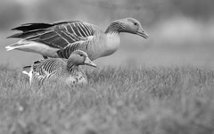 Gęgawy/Greylag gooses/Anser anser (mirosławkról) Tags: wild wildlife animal bird goose poland biebrza grass nature nikonnaturephotography gęgawa greylag anser blackandwhite 150600
