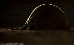 The Curve (Alastair Marsh Photography) Tags: seal sea seals greyseal greyseals greysealpup greysealpups pup pups animal animals animalsintheirlandscape wildlife sunlight sun sunset sunrise dawn dusk beach coastline coast britishwildlife britishanimals britishanimal britishmammals britishmammal babymammal baby babyanimal mammal mammals mammalsociety