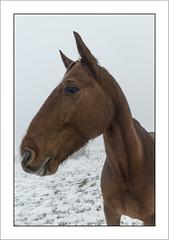 Profil (Profile) (Francis =Photography=) Tags: europa europe france grandest lorraine vosges 88 chevaux cheval brume horse mist rencontre encounter meet look regard animal portrait lehautdutôt