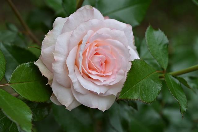 Обои листья, макро, нежность, роза картинки на рабочий стол, раздел цветы - скачать