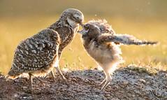 Burrowing owls (marianna armata) Tags: fauna animal bird marianna armata lcc 2019 burrowing owls feeding backlit sunset florida