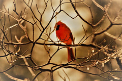 Mr Cardinal ~ hanging in the bokeh (karma (Karen)) Tags: baltimore maryland home backyard birds cardinal dof bokeh hss topf25 cmwd