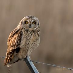 Short-eared Owl (Eric_Z) Tags: shortearedowl owl delta britishcolumbia canada canoneos7dmkii ef100400mmf4556lisiiusm