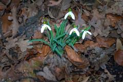 Un aire  de printemps (musette thierry) Tags: musette nikon fleur flower flor flowers blanc vert nature green printemps spring thierry petit belgium