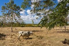 Just some cows (lezumbalaberenjena) Tags: carmita camajuani camajuaní villas villa clara cuba lezumbalaberenjena 2019