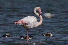 DSC_0642 (Jesus DTT) Tags: flamencocomún phoenicopterusroseus navaseca daimiel aves greaterflamingo