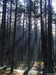 Woods-Terschelling (Geminiature Nature+Landscape Photography Mallorca) Tags: terschelling 2019 winter invierno bos woods bosque naaldbomen naaldbos westterschelling