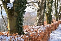 Le lierre, une plante verte en hiver (Excalibur67) Tags: nikon d750 sigma globalvision art 24105f4dgoshsma arbres trees plante nature feuillage foliage
