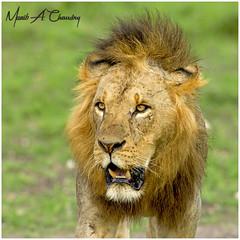 King Sirikoi of NNP! (MAC's Wild Pixels) Tags: kingsirikoiofnnp lion malelion pantheraleo lionking kinglion kingofthejungle animal mammal wildlife africanwildlife wildafrica wildanimal wildlifephotography carnivore predator hunter outdoors outofafrica nature naturephotography sunset goldenhour goldenlight nairobinationalpark nairobi kenya macswildpixels coth alittlebeauty natureinfocusgroup coth5 ngc npc