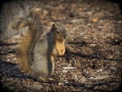 Squirrel, Morton Arboretum. 448 (EOS) (Mega-Magpie) Tags: canon eos 60d outdoors nature wildlife squirrel the morton arboretum lisle il illinois usa america dupage