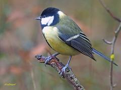 Carbonero común (Parus major) (9) (eb3alfmiguel) Tags: pájaros passeriformes insectívoros paridae carbonero común parus major