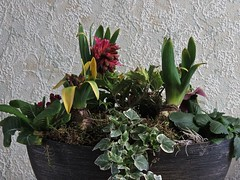 3784 Pink hyacinth Planter display (Andy - An idle laddy) Tags: anniversary arrangement bowl flower gift hyacinth ivy pink planter primrose