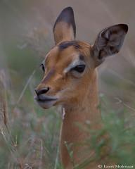 Impala lamb (leendert3) Tags: leonmolenaar southafrica krugernationalpark wildlife nature mammals impala coth5