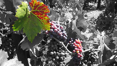 Where did the color go? (Eclectic Jack) Tags: processing processed process post manipulated black white color grapes leaves autumn colors photoshop splash