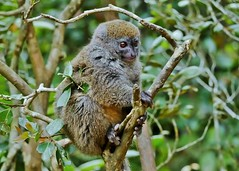Bamboo Lemur (Susan Roehl) Tags: madagascar2017 islandofmadagascar offtheeastcoastofafrica peyrierasmadagascarexoticreserve bamboolemurs gentlelemurs genushapelemur mediumsized animal mammal herbivore eatsbamboo endemic trees leaves preferdampforests activeduringday earlymorning arboreal groupsof3to5individuals makeavarietyofsounds oneortwoyoung lifeexpectancy12years sueroehl photographictours naturalexposures panasonic lumixdmcgh4 100400mmlens handheld cropped forest tree bird wood coth5 ngc