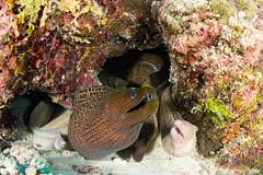 The eel dormitory! (Mgungen) Tags: water nature ocean fish morayeel reef maldives northmaleatoll atoll subal inon z240 nikon d7100 tokina tokina1017mm stingraycity