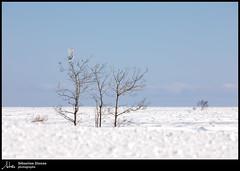 Harfang des neiges EXPLORE 19-03-07 (Sébastien Dionne photographe) Tags: harfang harfangdesneiges snowyowl owl oiseau oiseaux bird birds canon canon5dmarkiv canon5dmkiv 5dmarkiv 5dmkiv 150600mm 150600 sigma sigma150600 sigma150600dgoshsmsport sigma150600s isleverte rnfdelabaiedelisleverte bassaintlaurent