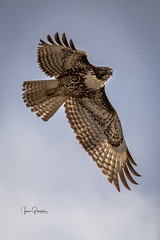 Hawk In Flight (JGemplerPhotography) Tags: birds birdsofprey hawk flight