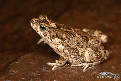 Poyntonophrynus fenoulheti - Northern Pygmy Toad. (Tyrone Ping) Tags: tyrone ping wwwtyronepingcoza south africa african herps herping nature canon 5dmiii wwtyronepingcoza creatures critters cute 100mmmacrof28 mt24ex flash photography reptile amphibian frogs snake lizard beautiful poyntonophrynus fenoulheti northern pygmy toad