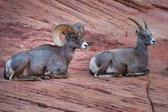 Big Horn Sheep in Zion (Brad Prudhon) Tags: 2018 animals bighornsheep mountcarmel october redrocks utah zionnationalpark
