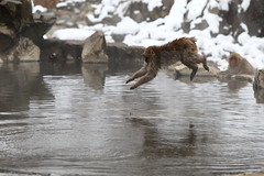 Dive! (Elios.k) Tags: horizontal outdoors nopeople monkey jumping jump inair airborne wet snowmonkey snow bokeh snowfalling cold warmspring bath bathing onsen hotspring water reflection animal nature japanesemacaque japanesesnowmonkey winter fur dof depthoffield focusinforeground backgroundblur colour color travel travelling december 2017 vacation canon 5dmkii camera photography yudanaka yudanakaonsen shibuonsen yamanouchiarea jigokudanivalley monkeypark joshinetsukogennationalpark yokoyuriver chūbu chubu kōshinetsu naganoprefecture honsu asia japan jigokudaniyaenkoen swimming