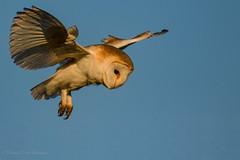 Hoover Hunt Barnie (budgiepaulbird) Tags: barnowls hunting birdsofprey birds owls canon7dmark2 100400mark2 hoovering