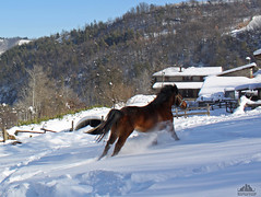 ❅♞ Gigia ♞❅ (Xena*best friend*) Tags: gigia horseshavingfuninthesnow horsesrunningonthesnow horsesrunninginthesnow horses woods animals fields walk fun cheval cavallo cavalo equine piedmontitaly piemonte italy wood wildanimals wild paws ©allrightsreserved canoneos760d digitalrebelt6s pet flickr efs18135mmf3556isstm photo outdoor nature winter cold catlover snow frozen freezing winterwonderland ilovewinter ilovesnow wonderfulwinter