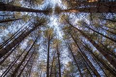 Woodland Canopy (Jake -) Tags: nature woodland canopy sky trees tree forest nikon
