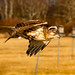 Immature Red Tailed Hawk (B. Powell) Tags: immatureredtailedhawk immatureredtailedhawks redtailedhawk redtailedhawks raptor raptors buteo buteos massachusettswildlife