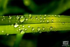 Dia de nubes y gotas de agua (Andres Breijo http://andresbreijo.com) Tags: agua water humedad gotas lluvia wet verde green hoja plant naturaleza nature desenfoque vida